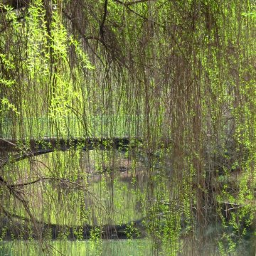 weeping-willow-531406.jpg