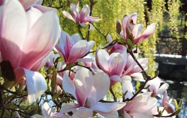 Magnolia-quer.jpg