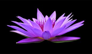 water-lily-1592771_1920.jpg